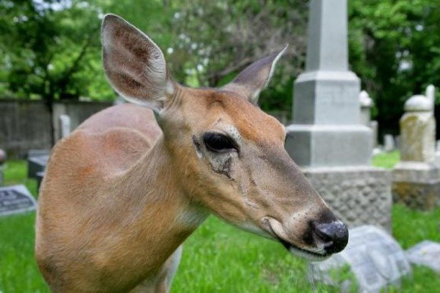 Ella the Deer at Willowbrook Cemetery